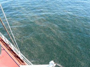 Pine Pollen in the Baltic Sea. Courtesy Dr. Dariusz Ficek.
